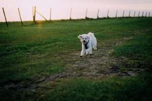 Hamilton, Toy Poodle