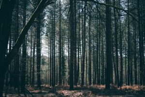 Pine trees in the New Forest